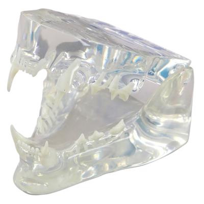 Acryl-Kiefermodell, Katze - mit Zahnschema