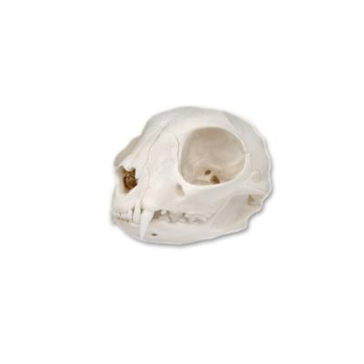 Knochenschädel Katze